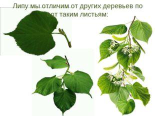 Липу мы отличим от других деревьев по вот таким листьям: