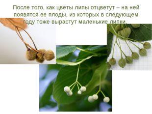 После того, как цветы липы отцветут – на ней появятся ее плоды, из которых в