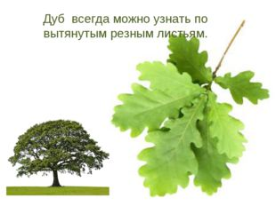 Дуб всегда можно узнать по вытянутым резным листьям.