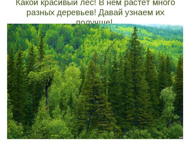 Какой красивый лес! В нем растет много разных деревьев! Давай узнаем их получ...