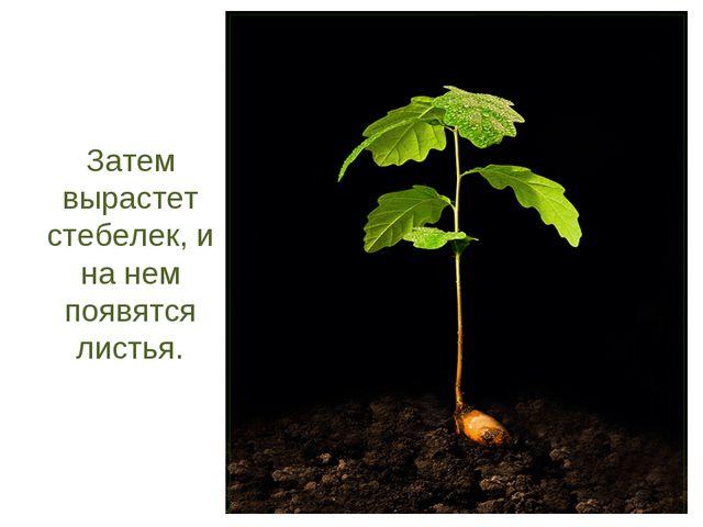 Затем вырастет стебелек, и на нем появятся листья.
