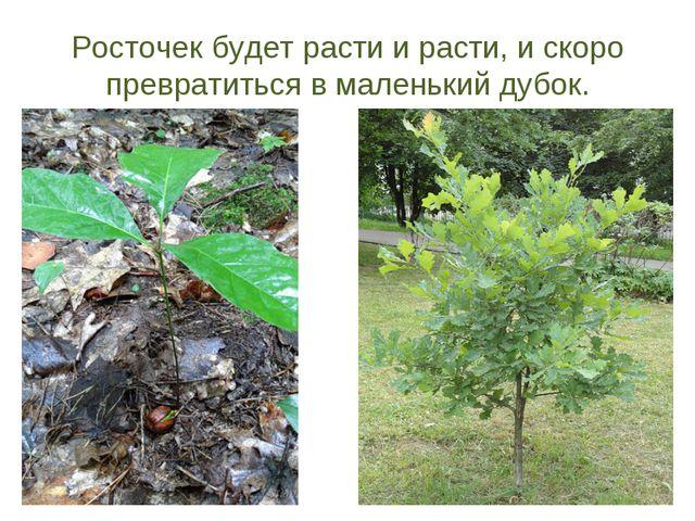 Росточек будет расти и расти, и скоро превратиться в маленький дубок.