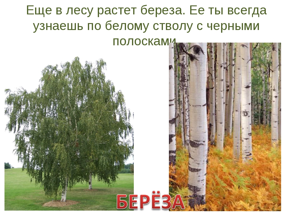 Еще в лесу растет береза. Ее ты всегда узнаешь по белому стволу с черными пол...