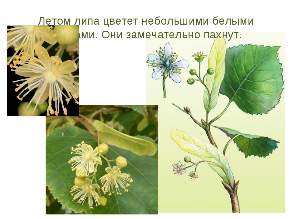 Летом липа цветет небольшими белыми цветами. Они замечательно пахнут.