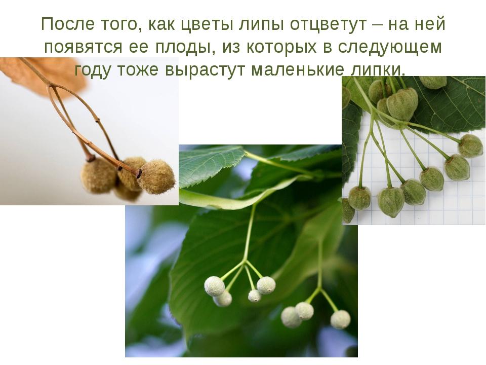 После того, как цветы липы отцветут – на ней появятся ее плоды, из которых в...