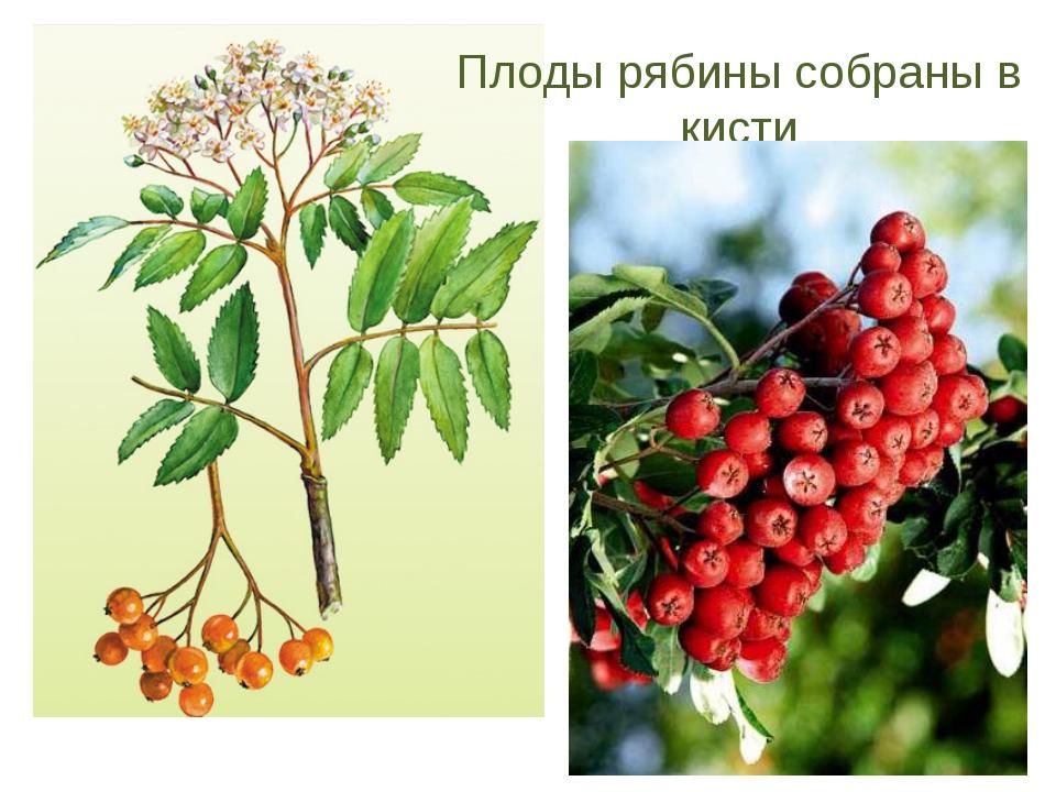 Плоды рябины собраны в кисти
