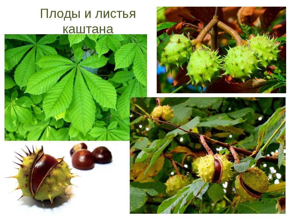 Плоды и листья каштана