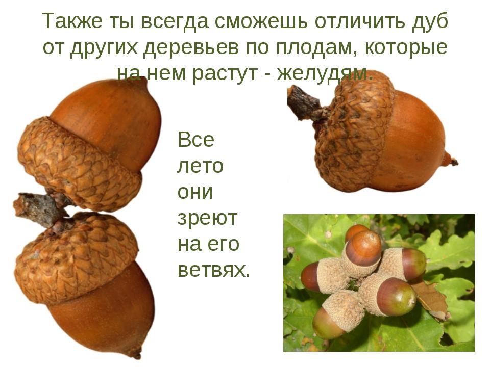 Также ты всегда сможешь отличить дуб от других деревьев по плодам, которые на...