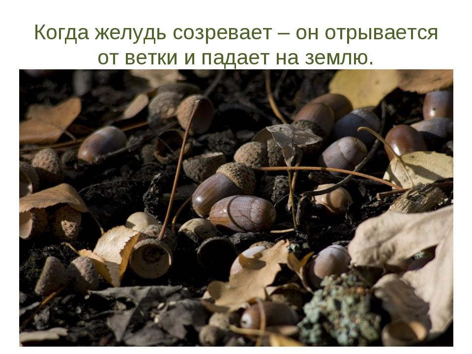 Когда желудь созревает – он отрывается от ветки и падает на землю.