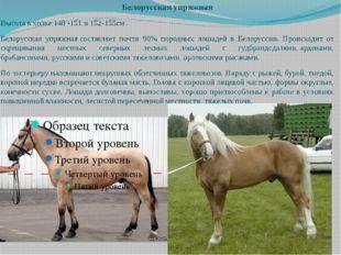 Белорусская упряжная Высота в холке 148 -151 и 152-155см . Белорусская упряжн
