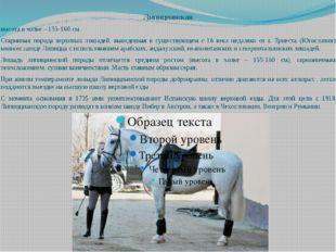 Липицианская высота в холке – 155-160 см Старинная порода верховых лошадей, в