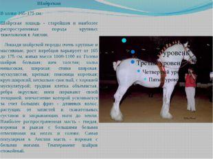 Шайрская В холке 165-175 см. Шайрская лошадь - старейшая и наиболее распростр