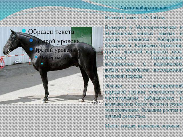 Англо-кабардинская Высота в холке: 158-160 см. Выведена в Малокарачаевском и...