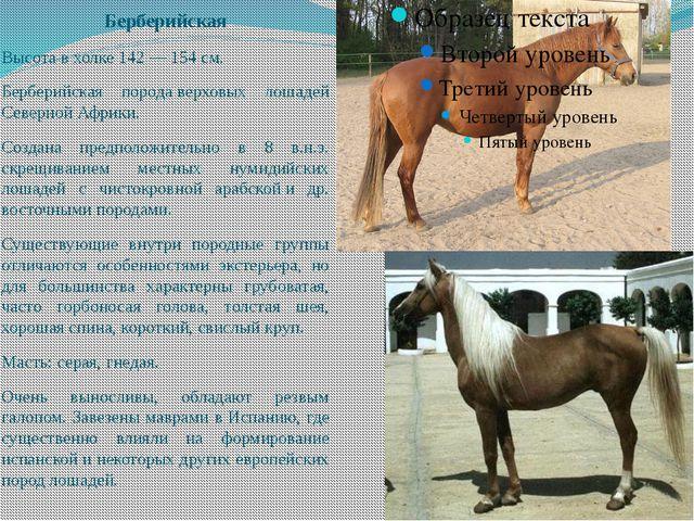 Берберийская Высота в холке 142 — 154 см. Берберийская породаверховых лошаде...