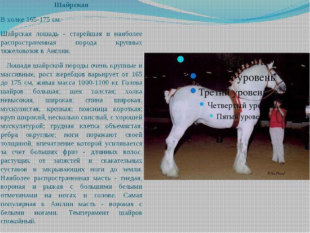 Шайрская В холке 165-175 см. Шайрская лошадь - старейшая и наиболее распростр...