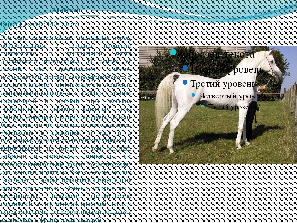 Арабская Высота в холке: 140-156 см. Это одна издревнейших лошадиных пород,...
