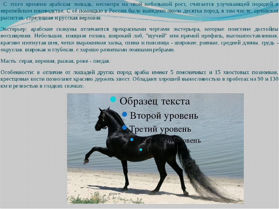 С этого времени арабская лошадь, несмотря на свой небольшой рост, считается...