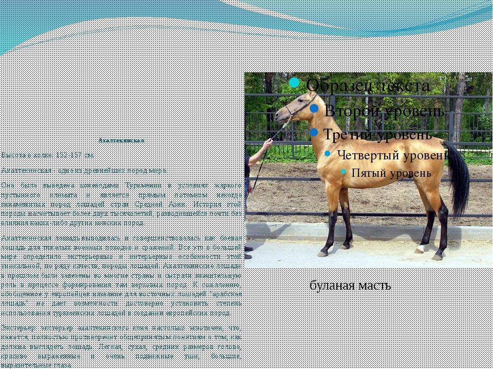 Ахалтекинская Высота в холке: 152-157 см. Ахалтекинская- одна из древнейших...