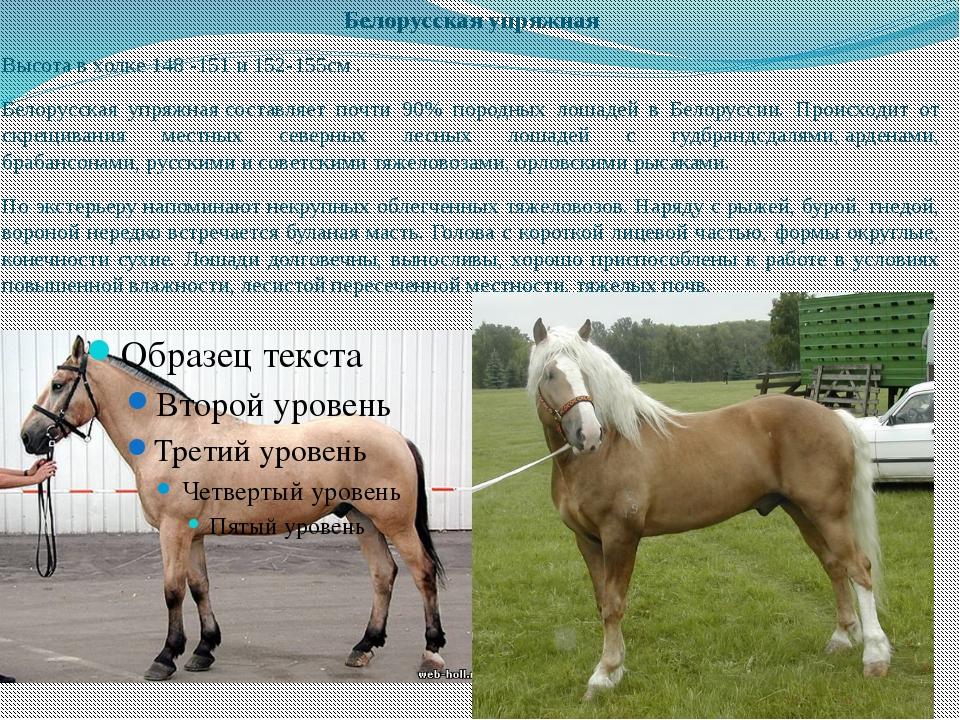 Белорусская упряжная Высота в холке 148 -151 и 152-155см . Белорусская упряжн...