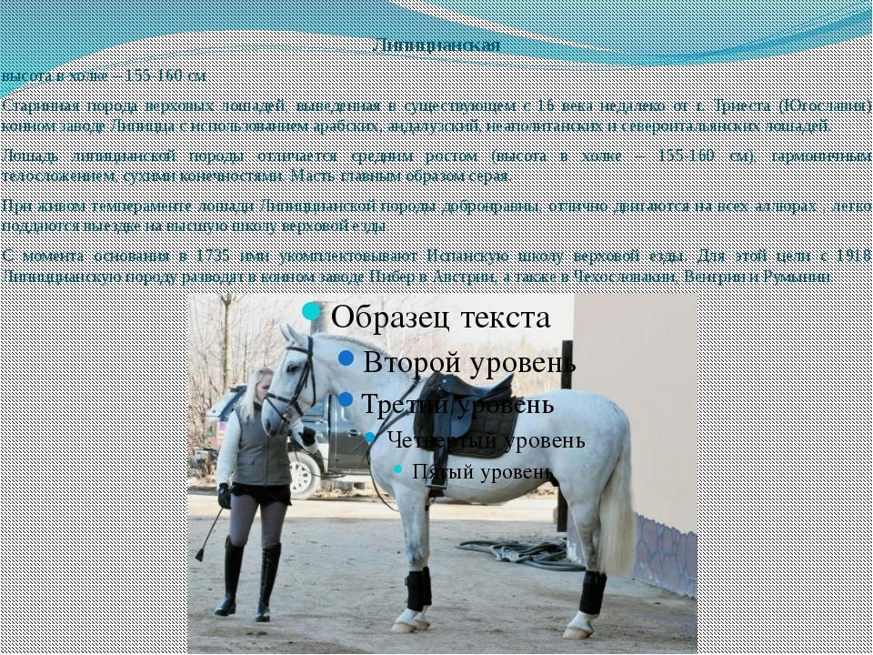 Липицианская высота в холке – 155-160 см Старинная порода верховых лошадей, в...