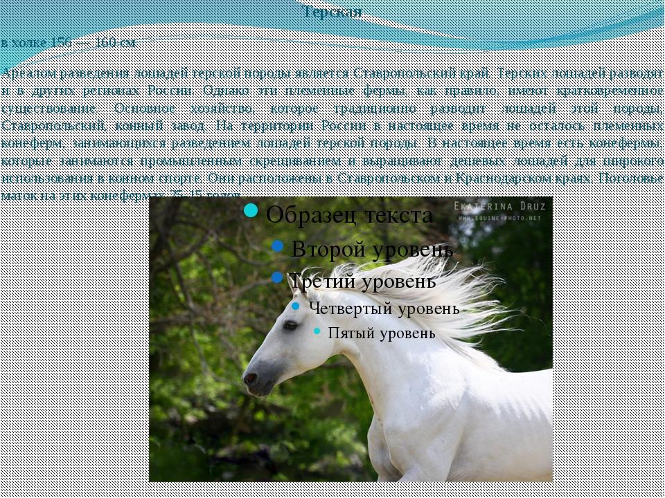 Терская в холке 156 — 160 см. Ареалом разведения лошадей терской породы являе...