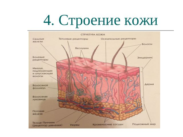 4. Строение кожи
