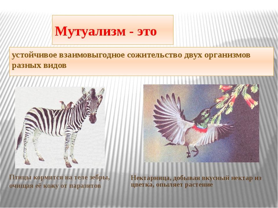 Мутуализм - это устойчивое взаимовыгодное сожительство двух организмов разных...