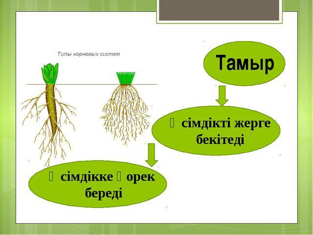 Тамыр Өсімдікті жерге бекітеді Өсімдікке қорек береді