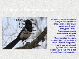 Старая знакомая сорока Сорока – известная всем птица с чёрно-белым оперением