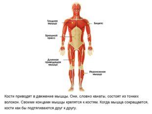 Кости приводят в движение мышцы. Они, словно канаты, состоят из тонких волоко
