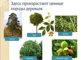 Здесь произрастают ценные породы деревьев сосна Грецкий орех каштан осина бук