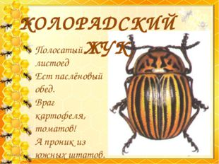 КОЛОРАДСКИЙ ЖУК Полосатый листоед Ест паслёновый обед. Враг картофеля, томат