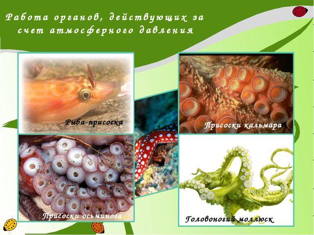 Работа органов, действующих за счет атмосферного давления Рыба-присоска Присо...
