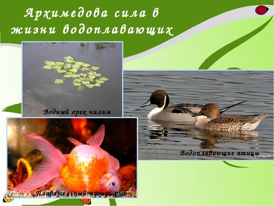 Архимедова сила в жизни водоплавающих Водный орех чилим Плавательный пузырь р...
