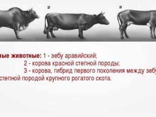 Гибридные животные: 1 - зебу аравийский; 2 - корова красной степной породы;
