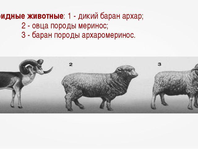 Гибридные животные: 1 - дикий баран архар; 2 - овца породы меринос; 3 - бара...