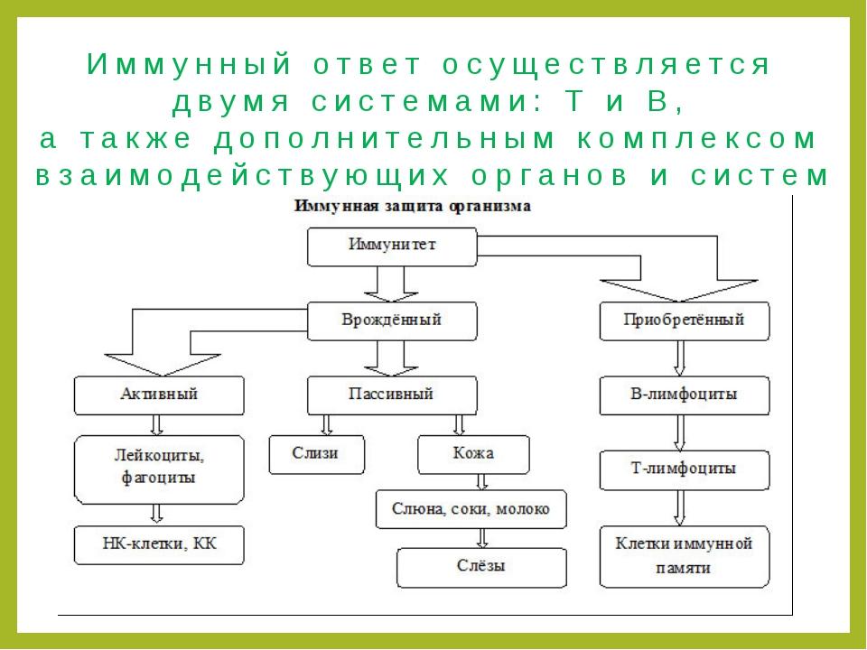 Иммунный ответ осуществляется двумя системами: Т и В, а также дополнительным...