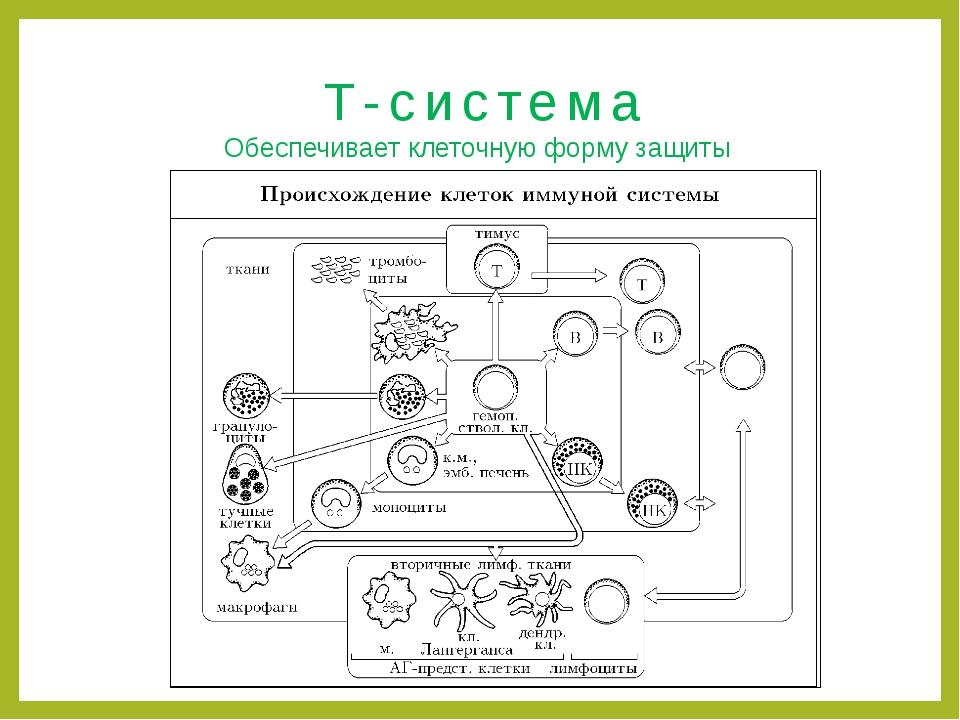 Т-система Обеспечивает клеточную форму защиты