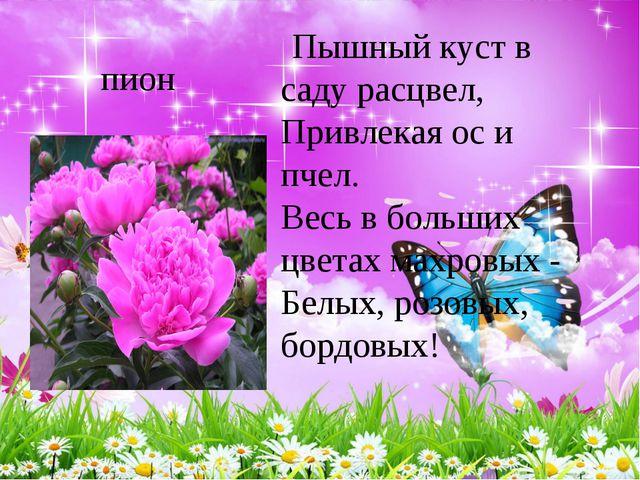 пион Пышный куст в саду расцвел, Привлекая ос и пчел. Весь в больших цвета...