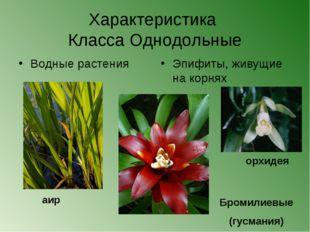 Характеристика Класса Однодольные Водные растения аир орхидея Бромилиевые (гу