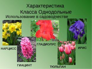 Характеристика Класса Однодольные Использование в садоводчестве НАРЦИСС ГИАЦИ