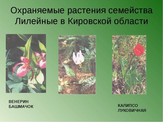 Охраняемые растения семейства Лилейные в Кировской области ВЕНЕРИН БАШМАЧОК К...