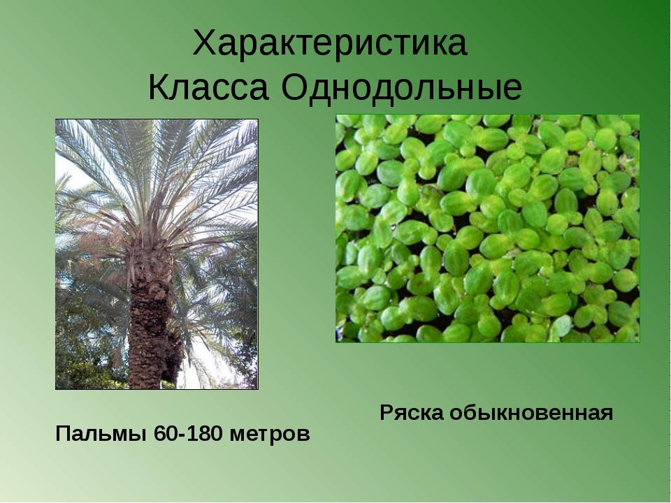Характеристика Класса Однодольные Пальмы 60-180 метров Ряска обыкновенная