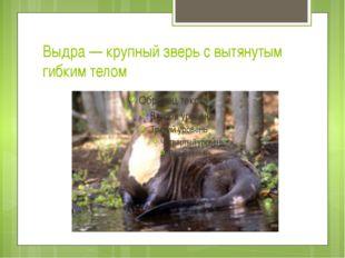 Выдра — крупный зверь с вытянутым гибким телом