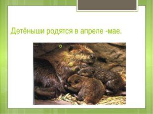 Детёныши родятся в апреле -мае.