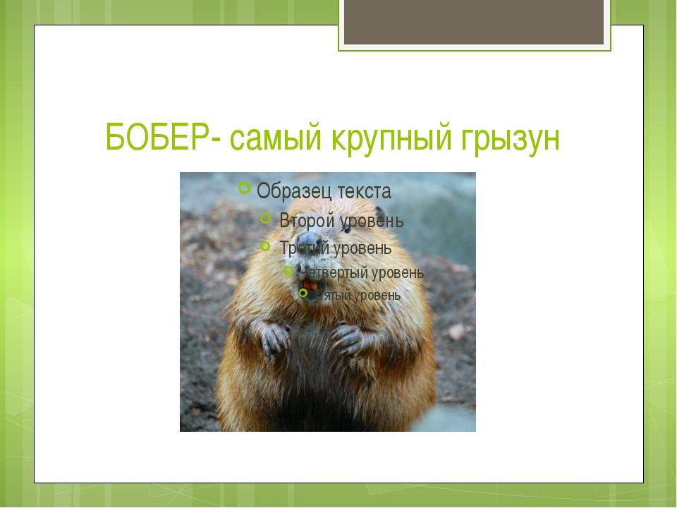 БОБЕР- самый крупный грызун