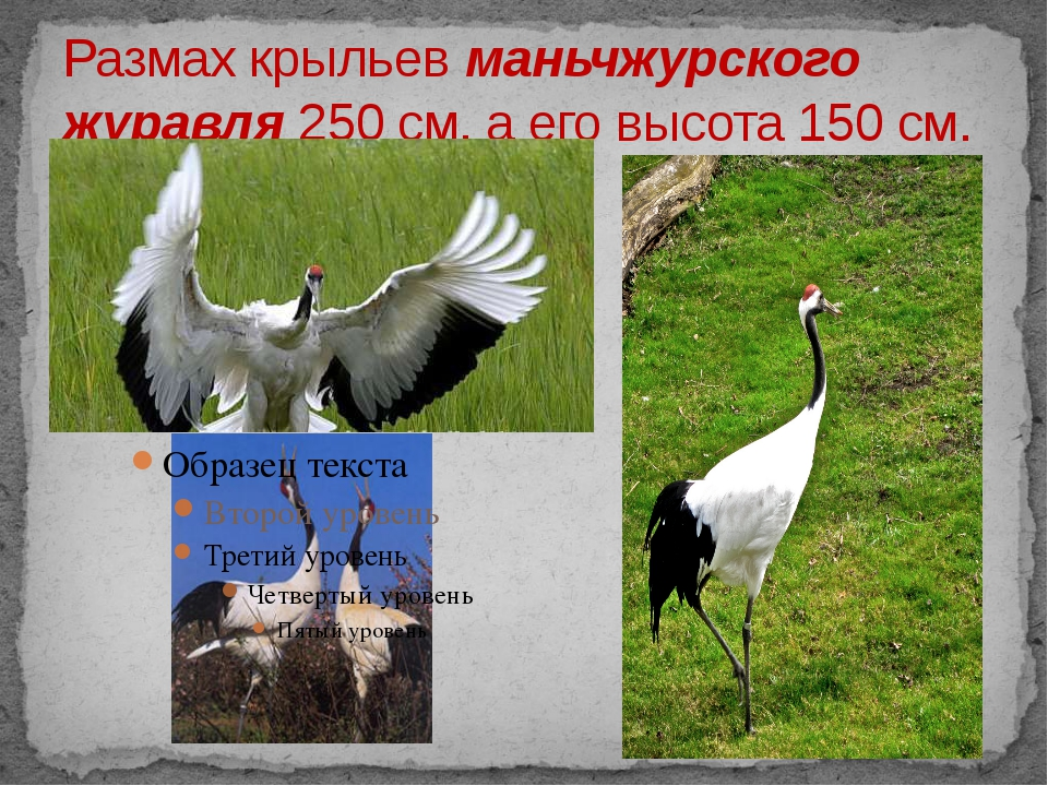 Размах крыльев маньчжурского журавля 250 см, а его высота 150 см.