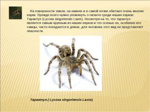 На поверхности земли, на камнях и в самой почве обитают очень многие пауки.
