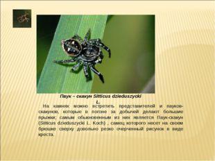 На камнях можно встретить представителей и пауков-скакунов, которые в погоне