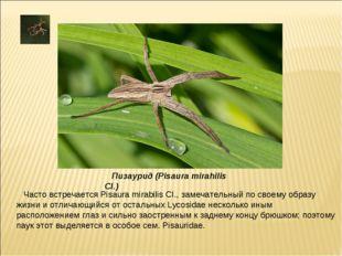 Часто встречается Pisaura mirabilis CI., замечательный по своему образу жизни